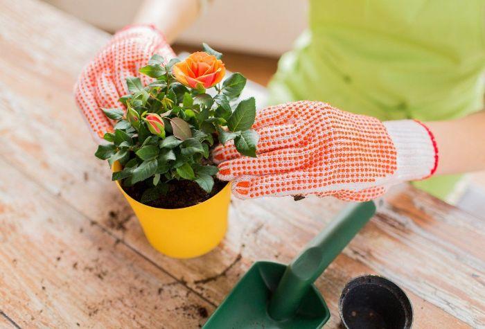 engrais pour rosier en pot
