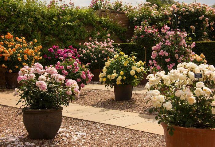 jardin magnifique rosier en pot