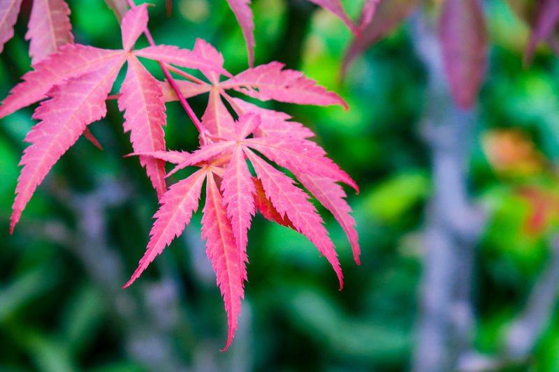 jardin tropical érable japonais lisse