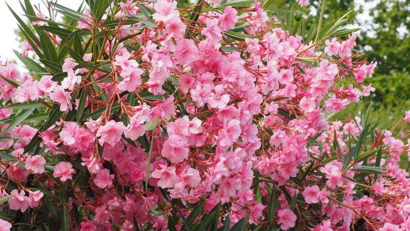 jardin tropical arbuste ou petit arbre