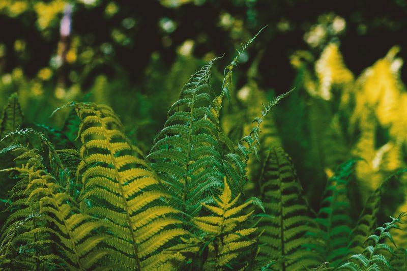 jardin tropical connue comme fougère