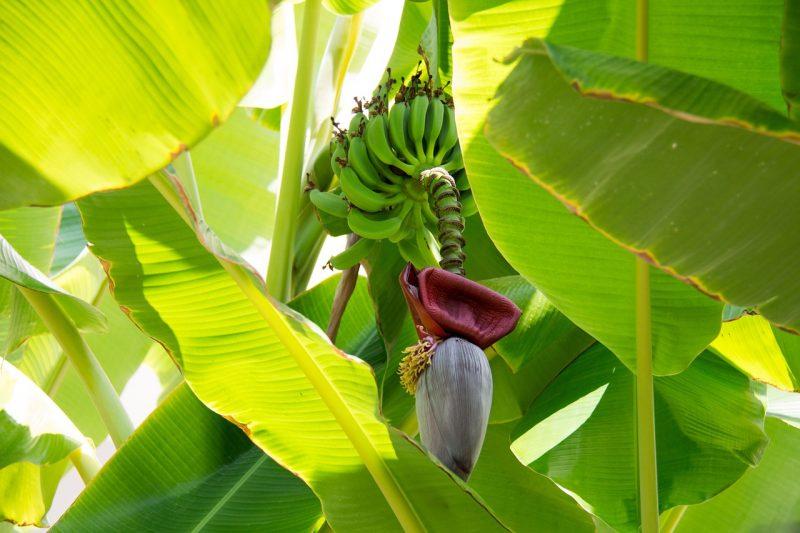 jardin tropical fruit stérile