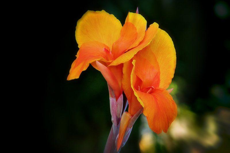 jardin tropical gros lis de Canna
