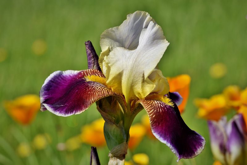 jardin tropical iris fleur de lys