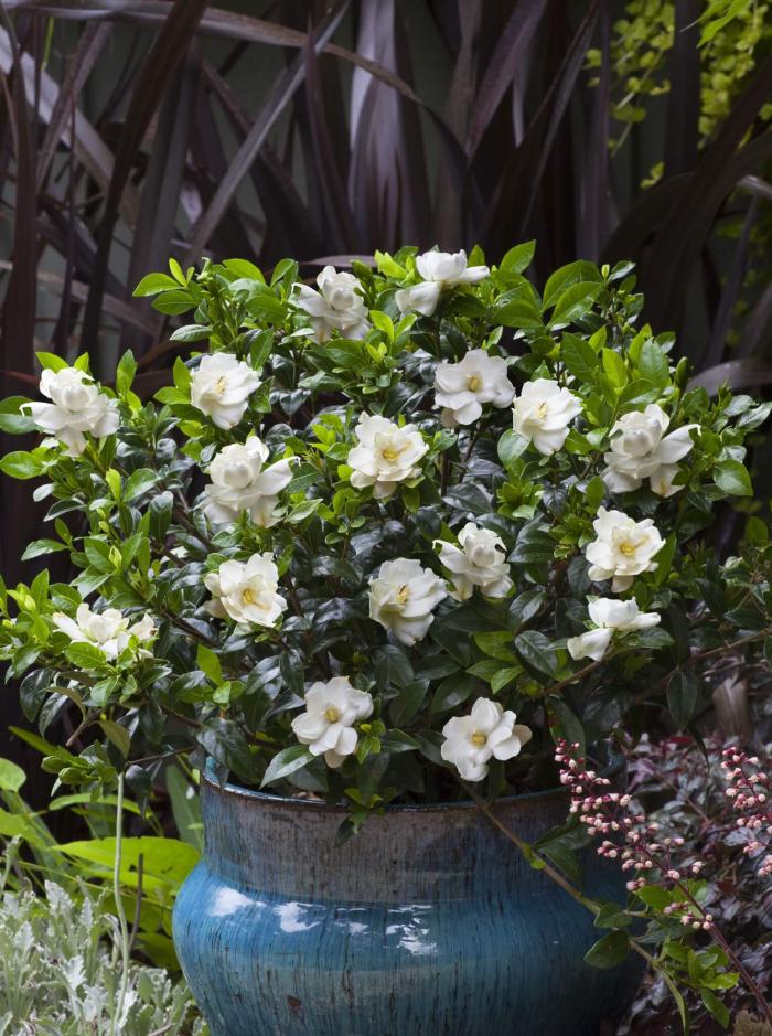 le langage des fleurs gardénia en pot
