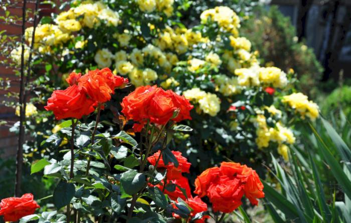le langage des fleurs la reine des fleurs