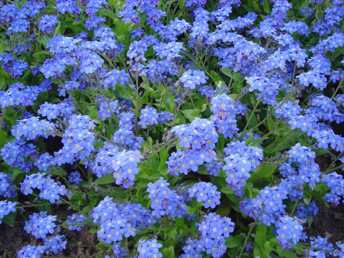 le langage des fleurs myosotis victoria