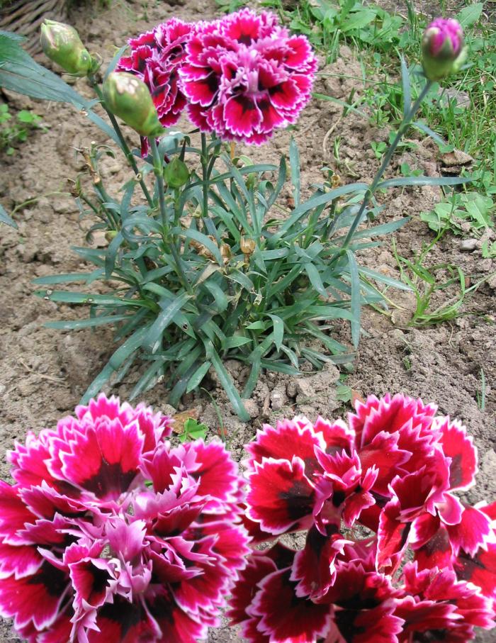 le langage des fleurs oeillet rouge