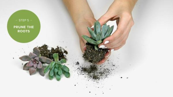 plantes succulentes avec les mains