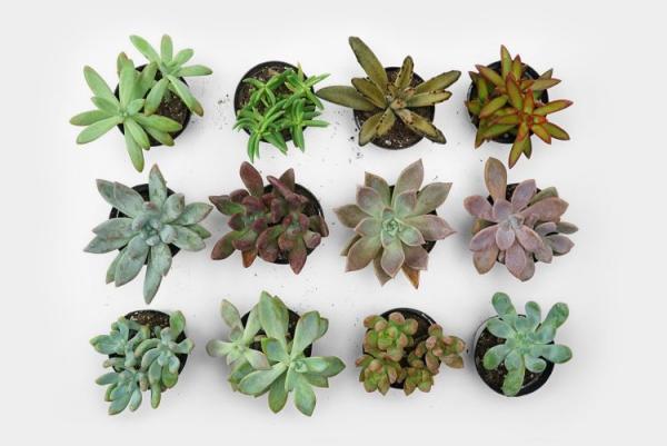 plantes succulentes genres de succulents