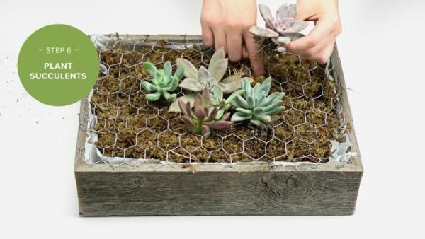 plantes succulentes lors de l'empotage
