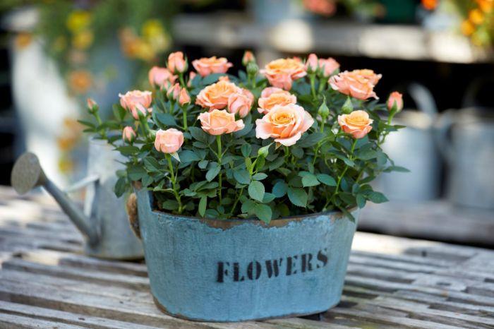 rose miniature conseils rosier en pot