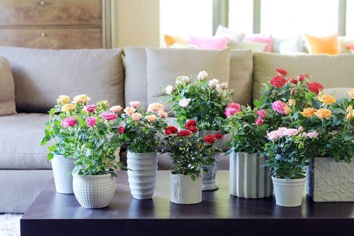 rosier en pot déco table