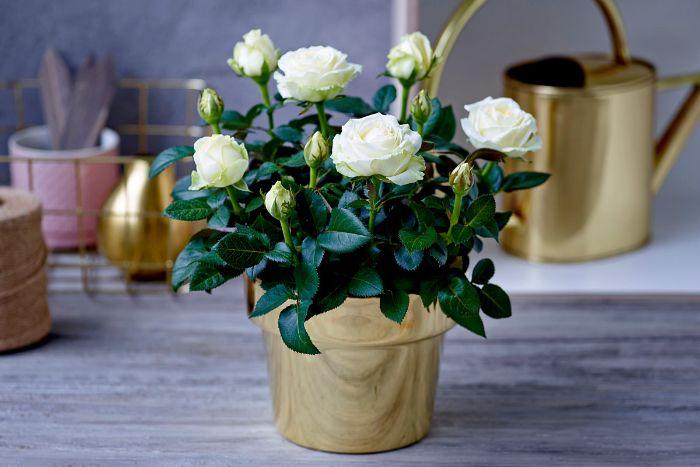 rosier en pot doré