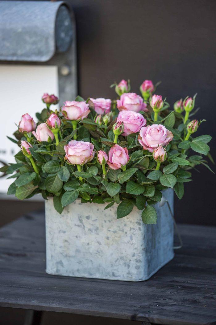rosier en pot fleurs roses