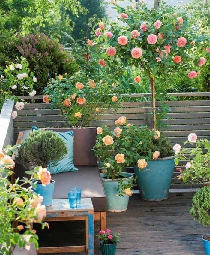 rosier en pot