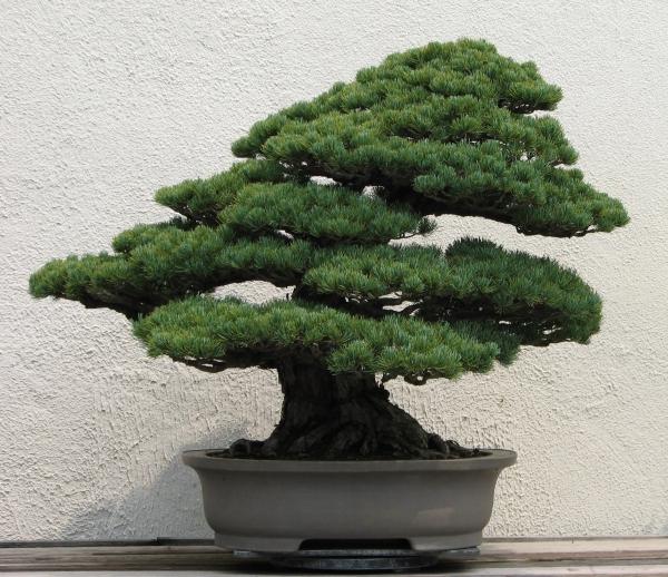 comment faire un bonsaï art japonais