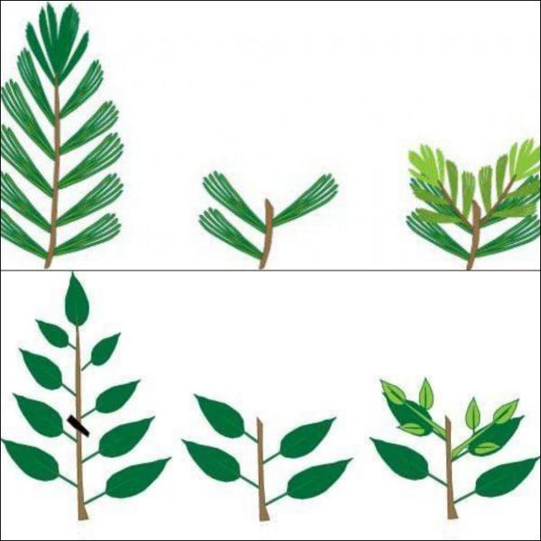 comment faire un bonsaï coupe des feuilles
