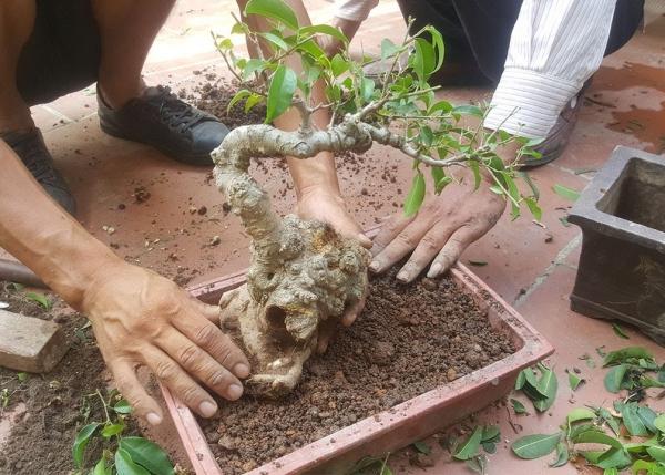 comment faire un bonsaï mélange de sol