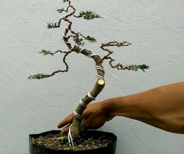 comment faire un bonsaï styliser et façonner