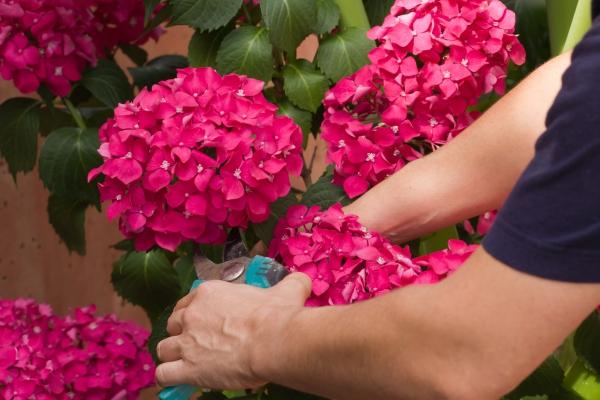 quand couper les hortensias en couleur rose vif