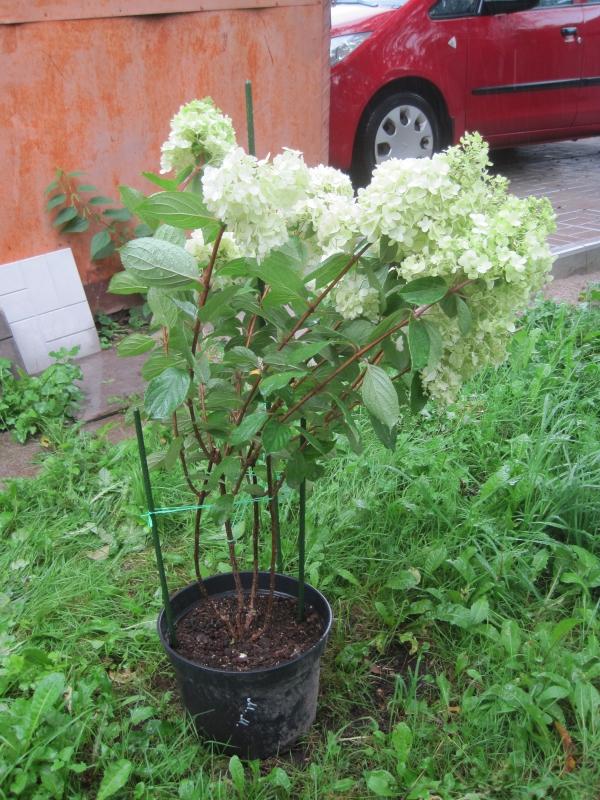 quand couper les hortensias plante vigoureuse en pot