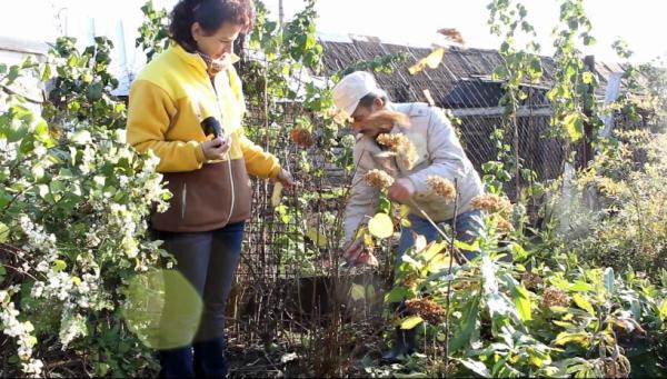 quand couper les hortensias soigner les plantes