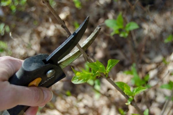 quand couper les hortensias taille printanière