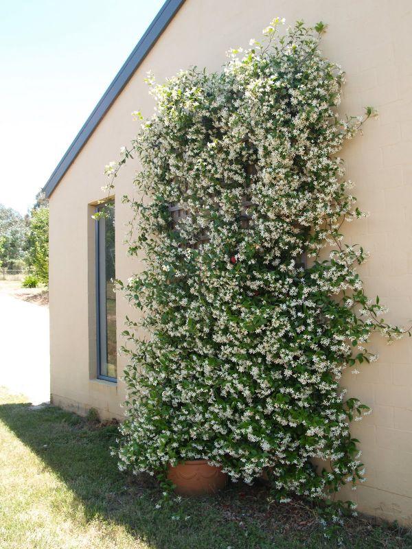 comment habiller un mur extérieur abîmé déco verte avec jasmin étoilé