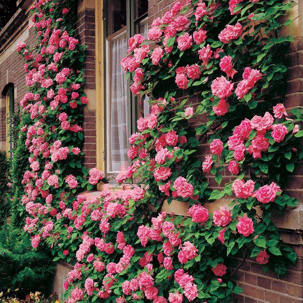 comment habiller un mur extérieur abîmé roses grimpantes idée