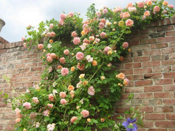 comment habiller un mur extérieur abîmé roses grimpantes