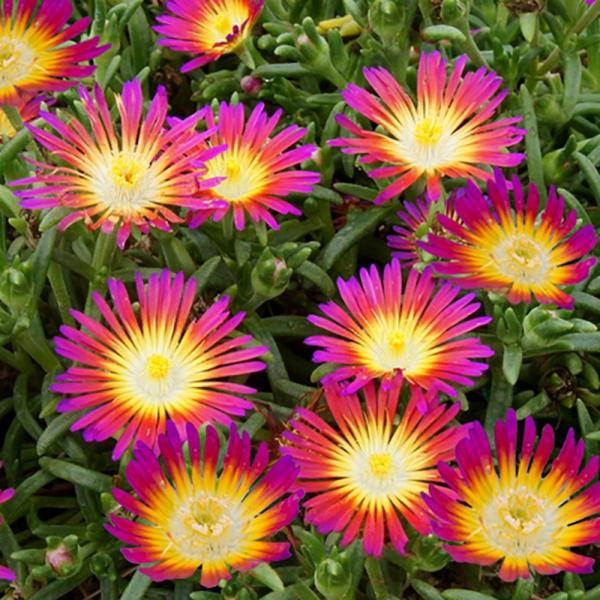 fleurs et plantes genre de pourpier