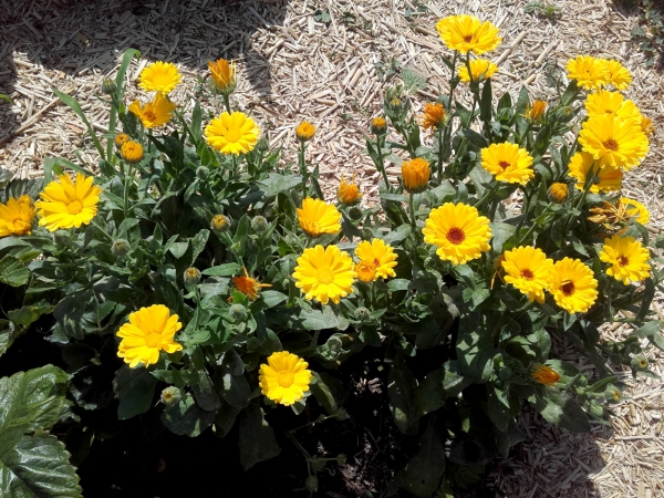 fleurs et plantes jaune des soucis