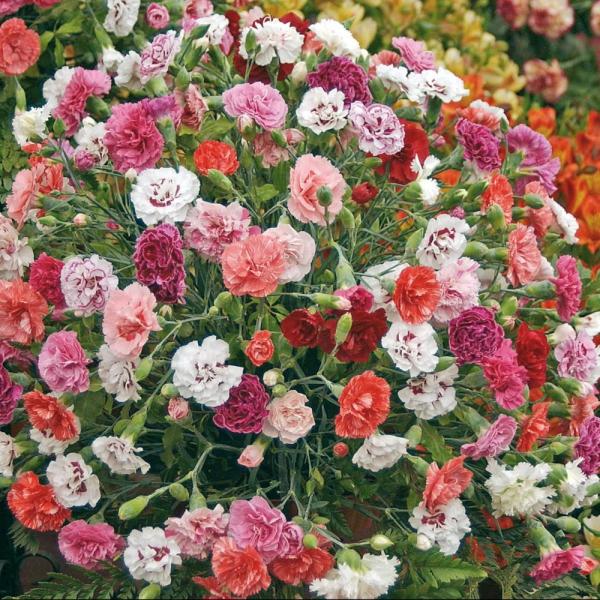 fleurs et plantes oeillet embaumé