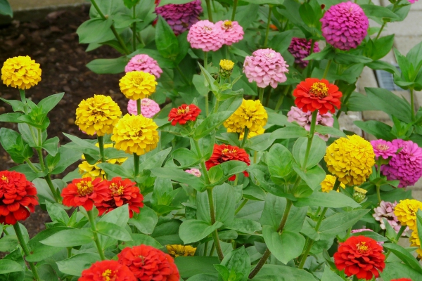 fleurs et plantes zinnia multicolore