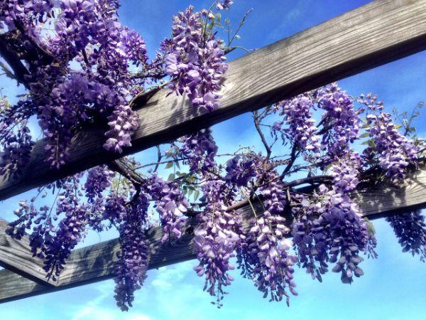 floraison glycine de chine support en bois