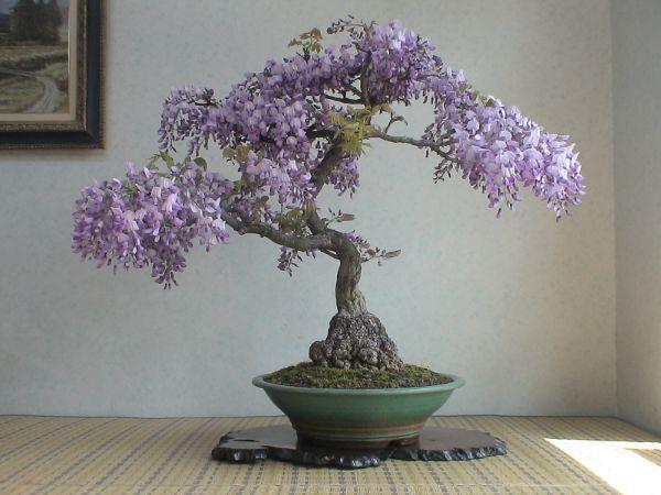 glycine de chine bonsai
