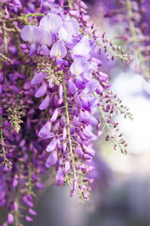 glycine de chine fleurs