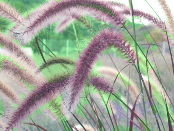 graminées vivaces couleur lilas