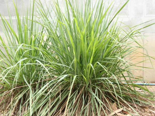 graminées vivaces de l'herbe citronnée