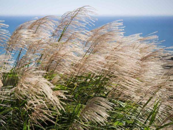 graminées vivaces herbe japonaise