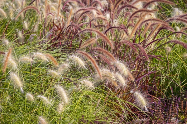 graminées vivaces herbe ornementale
