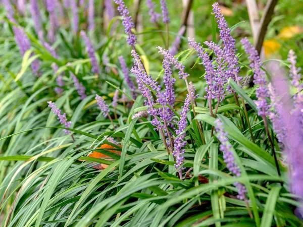graminées vivaces une herbe fleurie