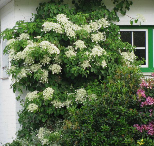 hortensia petiolaris comment habiller un mur extérieur abîmé
