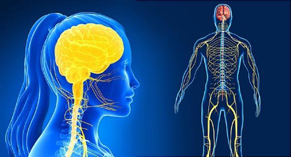 huile de cbd bienfaits sur le système nerveux