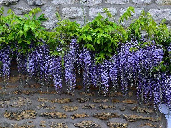 idée déco en violette comment habiller un mur extérieur abîmé glycine