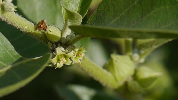 le vieillissement de la peau fleur d'ashwagandha