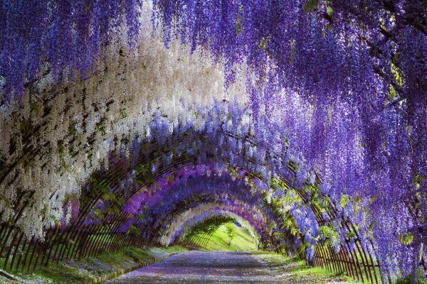 parc floral au japon arche fleurie glycine de chine