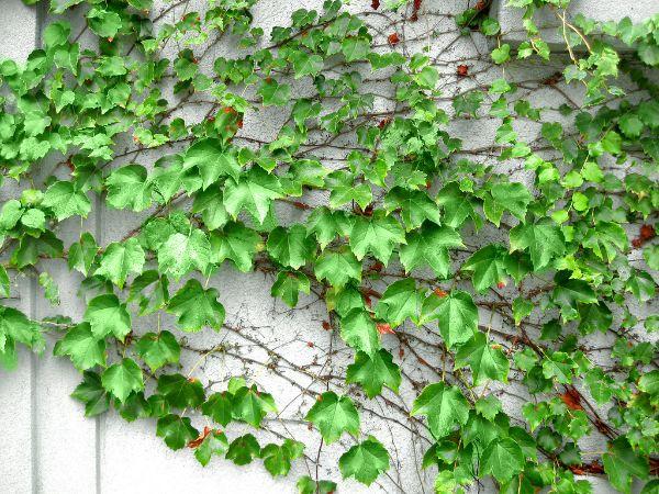 vigne vierge comment habiller un mur extérieur abîmé