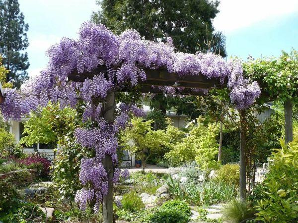 wisteria glycine de chine aménagement jardin